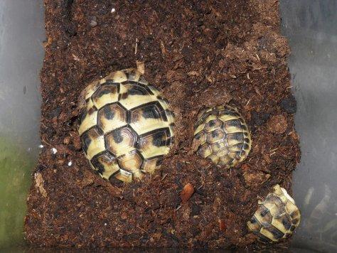 Griechische Landschildkröte Kühlschrank Überwinterrungsbox