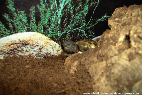 Griechische Landschildkröte Testudo hermanni boettgeri kommt auf ihrem Versteck