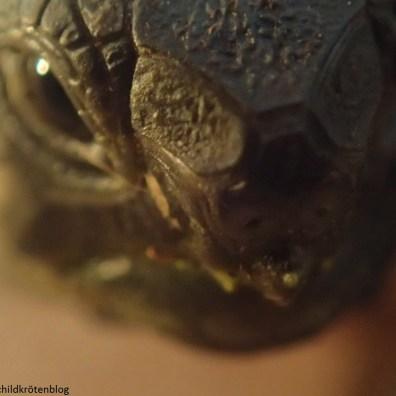 Nahaufnahme Kopf. Griechische Landschildkröte Testudo hermanni boettgeri. Villa Amanda - Der Schildkrötenblog
