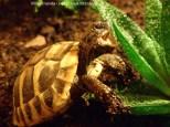 Griechische Landschildkröte Aloe