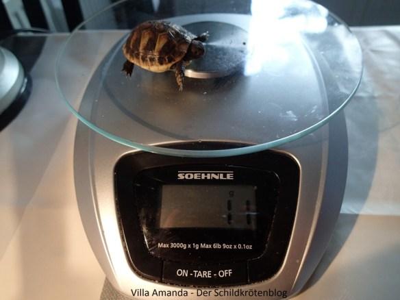 Griechische Landschildkröte Testudo hermanni boettgeri wiegen nach Winterstarre