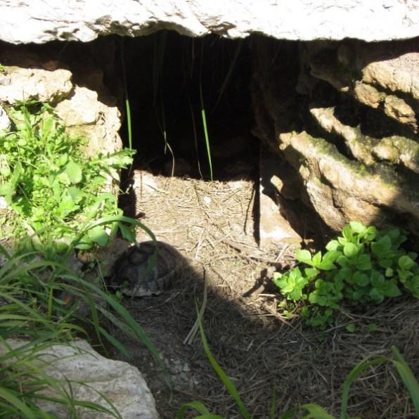 Griechische Landschildkröte Testudo hermanni Athen