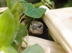 Griechische Landschildkröte auf Korfu