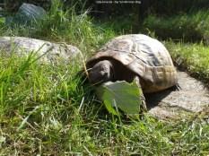 Griechische Landschildkröte frisst Weinblatt