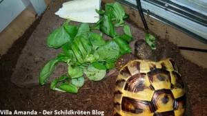 Griechische Landschildkröte frisst Feldsalat