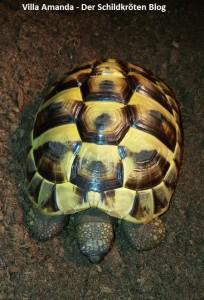 kranke Griechische Landschildkröte