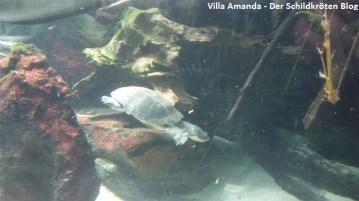 Froschkopf Schildkröte