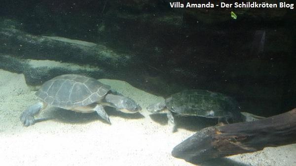 Froschkopf-Schildkröte und Terekay-Schienenschildkröte