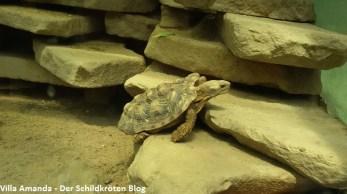Spaltenschildkröte Malacochersus tornieri
