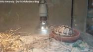 Ägyptische Landschildkröte Testudo kleinmanni
