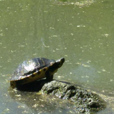 Schildkröte Derletal