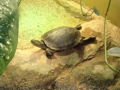 Chinesische Streifenschildkröte Mauremys sinensis