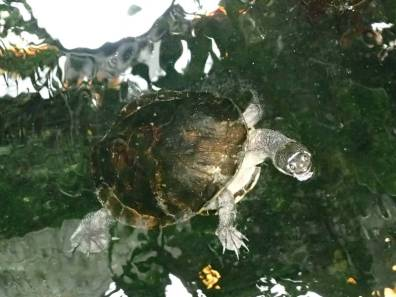 Schlangenhals-Schildkröte Chelodina longicollis