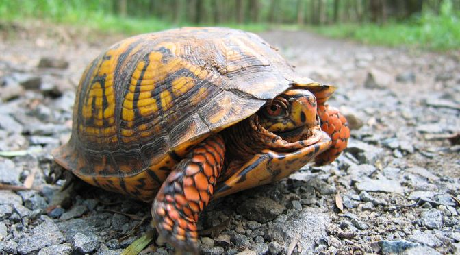Villa Amandas Schildkröte des Jahres 2020 – Carolina-Dosenschildkröte