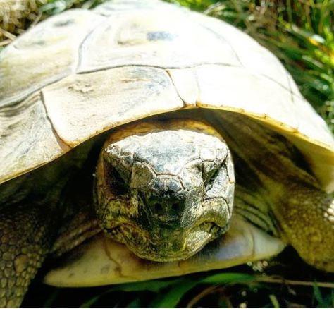 Amadeus. Unsere männliche Griechische Landschildkröte