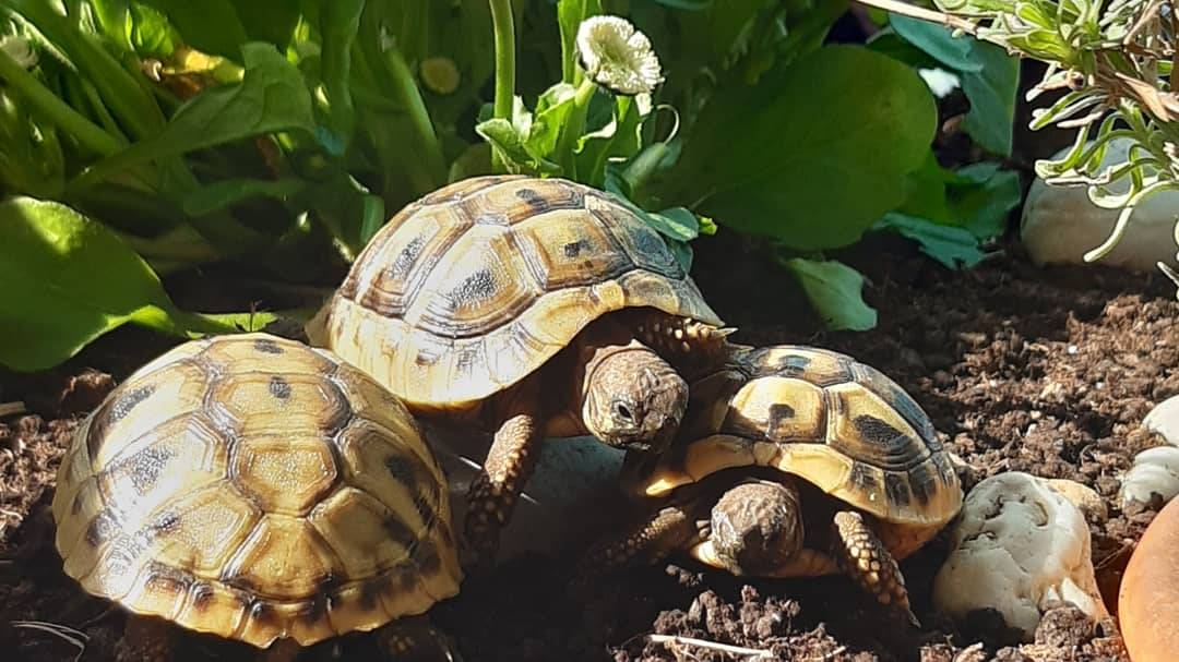 Griechische Landschildkröten Nachzuchten