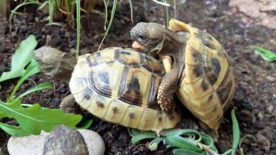 Griechische Landschildkröten Paarung