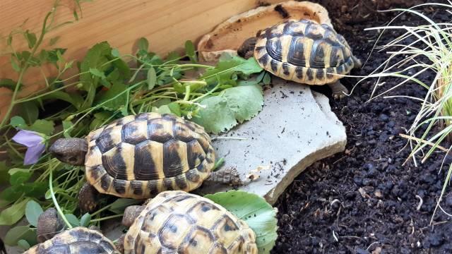 Griechische Landschildkröten fressen