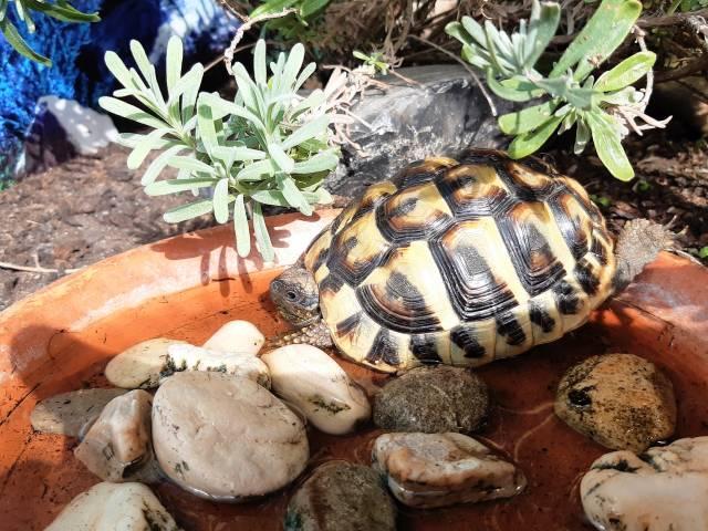 Griechische Landschildkröte badet