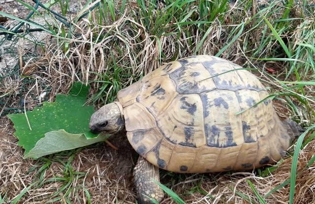 Griechische Landschildkröte frisst Weinblätter