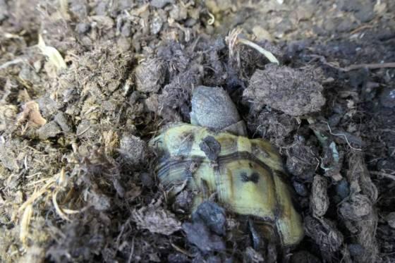 Griechische Landschildkröte kommt aus der Winterstarre