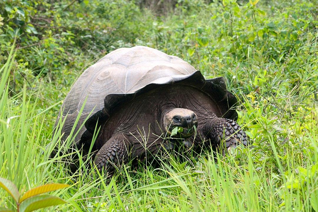You are currently viewing Schildkröte des Jahres 2021 – Santa-Cruz-Riesenschildkröte