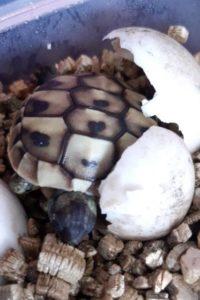 Griechische Landschildkröte schlüpft aus dem Ei