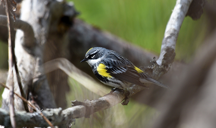 Spring Migration Yellow-rumped Warbler