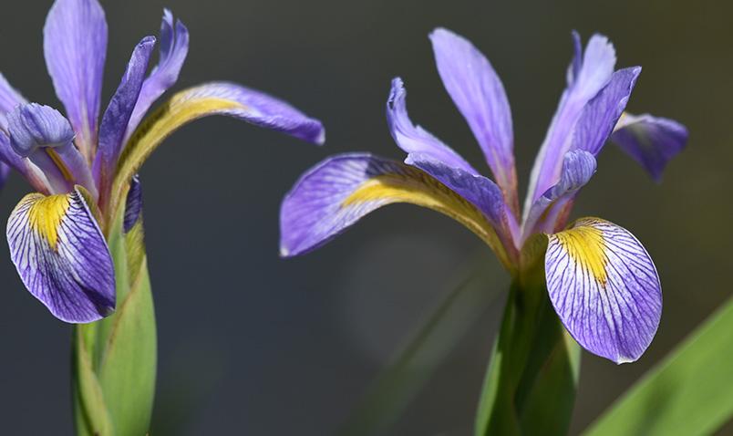 Walk in the Woods Schlitz Audubon Blue Flag Iris