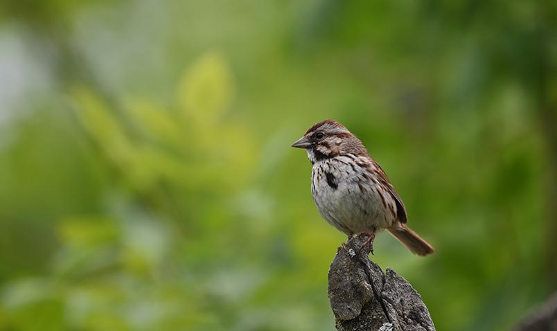 Song Sparrow Schlitz AUdubon