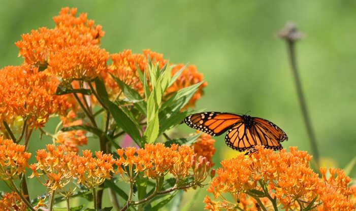 magnificence of milkweed monarch on butterfly weed