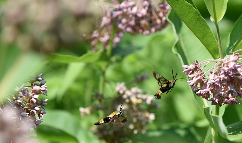 Snowberry Clearwing, Hemaris diffinis