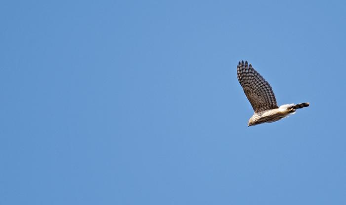 Hawk Migration Schlitz Audubon