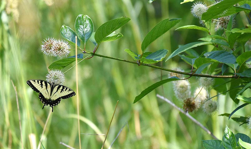 Eastern Tiger Swallowtail butterfly on Button Bush at the Center.