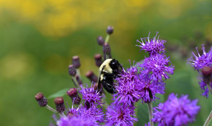 Two Spotted Bumblebee, Bombus bimaculatus.