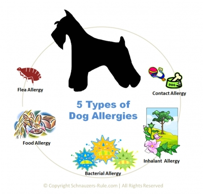 Dog Allergies Symptoms and Treatment