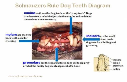 Dog Teeth Diagram Amp Mouth Problems