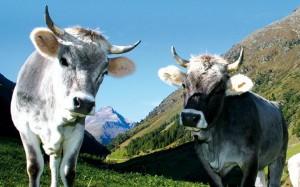 Tiroler Grauvieh