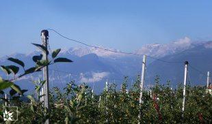 Apfelplantage Südtirol