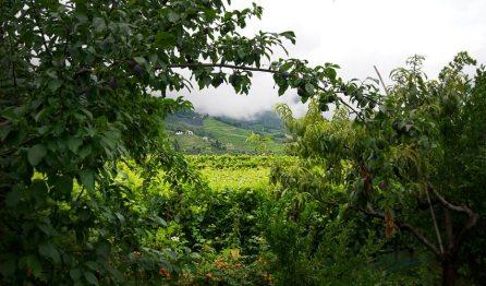 Weinberge in der Umgebung von Meran