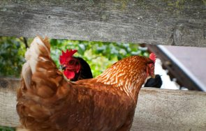 Nachbarhühner