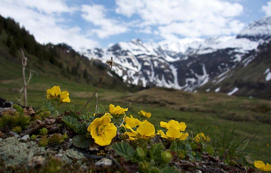 Alpenblumen Sportgastein