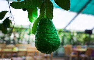Bio-Zitrone im Zitrusgarten – Faak am See