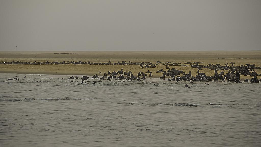 Seehundekolonie bei Swakopmund in Namibia