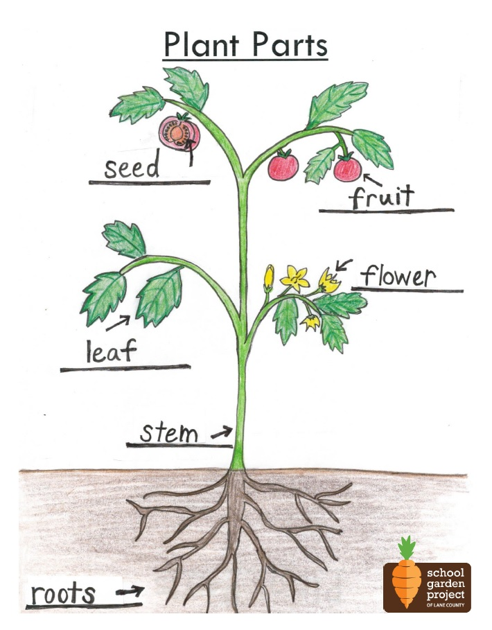 plant parts diagram - school garden project of lane county diagram of parts of the body