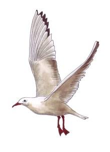 Möve, gezeichnet von Petra Elsner