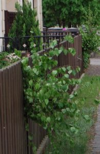 Die Maien an die Zäunen und Torem im Dorf.
