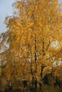 Goldene Birke