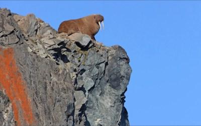 Vallende walrussen