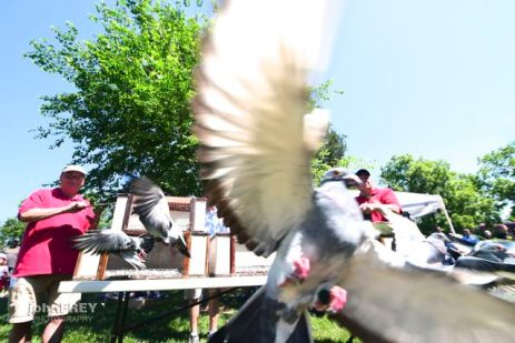 Releasing the doves of peace. The homing pigeons are on their way home.